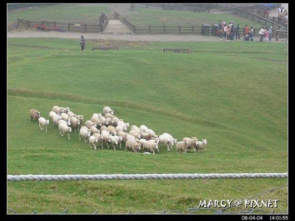 奔跑的綿羊兒..