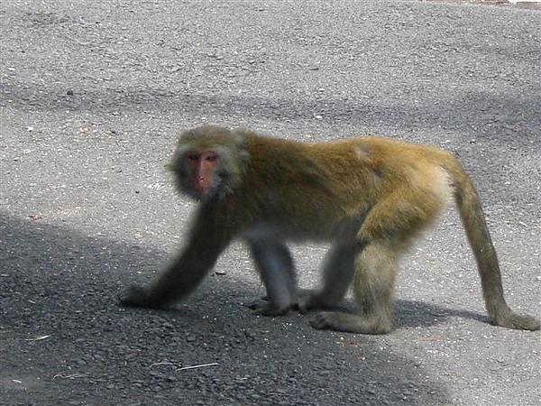 寺廟旁的野生台灣獼猴