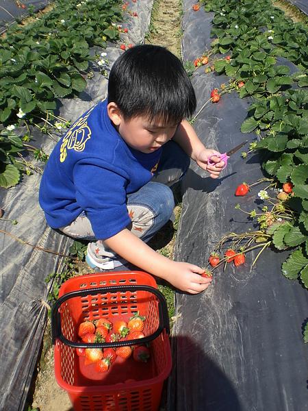 20110206採草莓 (17).JPG