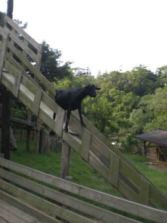 解說員說羊喜歡站在高崗上