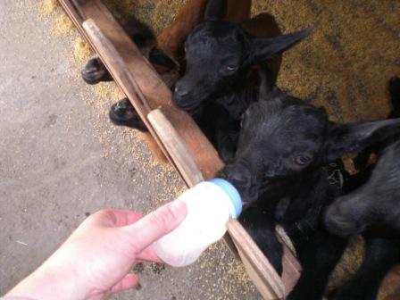 羊BB喝的是現擠的牛乳