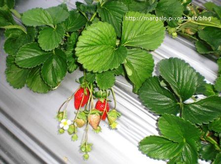無名子農園採草莓