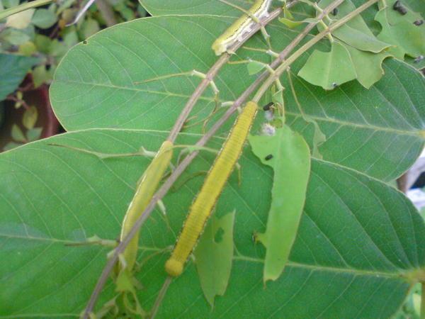 銀紋淡黃蝶