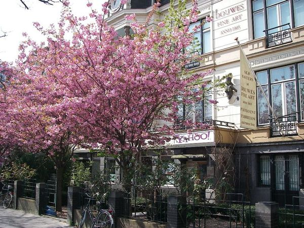 荷蘭也有櫻花.JPG