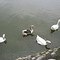 寧靜湖上鴨子