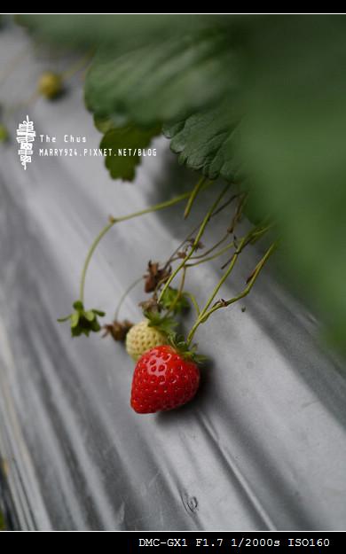 草莓世界-2