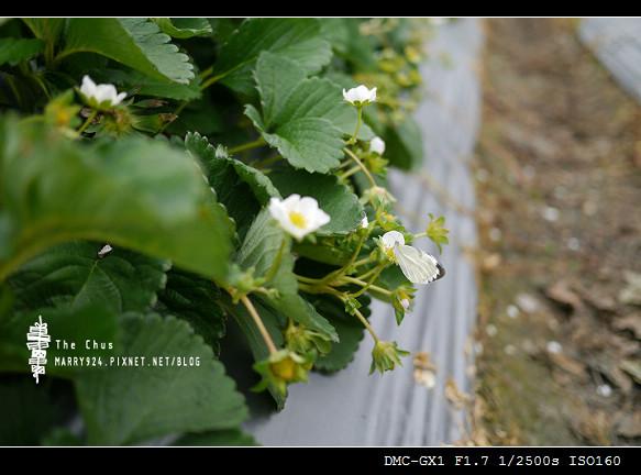 草莓世界-3