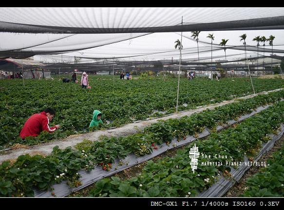 草莓世界-9