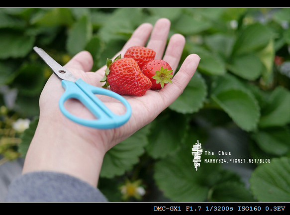 草莓世界-10
