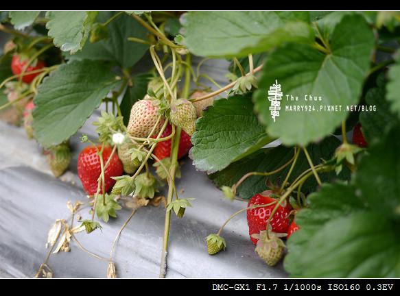 草莓世界-11