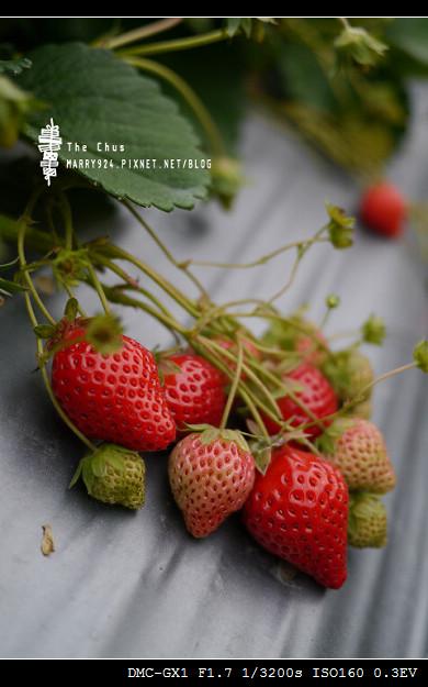 草莓世界-15