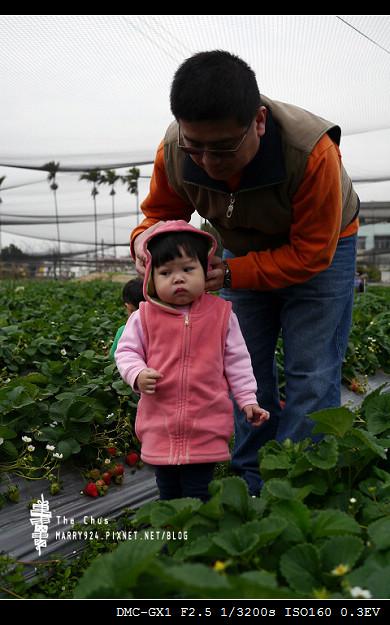 草莓世界-16
