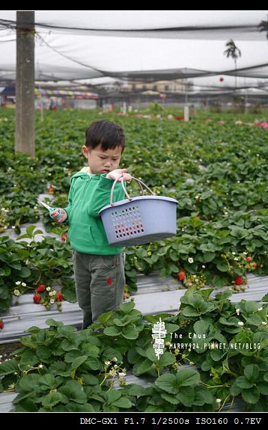 草莓世界-17