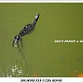 bali iguana-5.jpg
