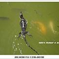bali iguana-7.jpg