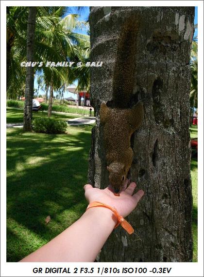 bali squirrel-1.jpg