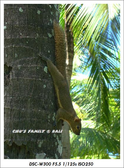 bali squirrel-5.jpg