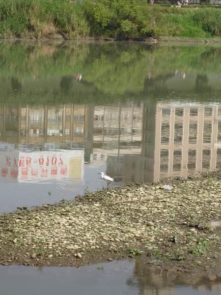 河床上的白鷺鷥