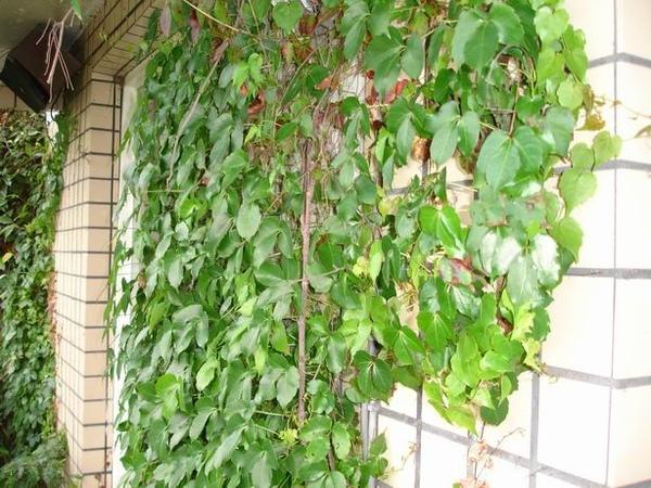 11-牆邊的藤類植物
