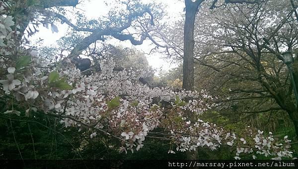 D3-15展望台廣場的櫻花.jpg