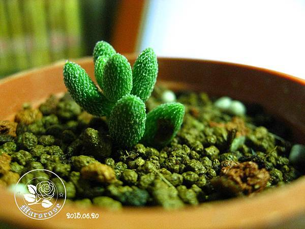 Crassula hirtipes_20130620_BG03