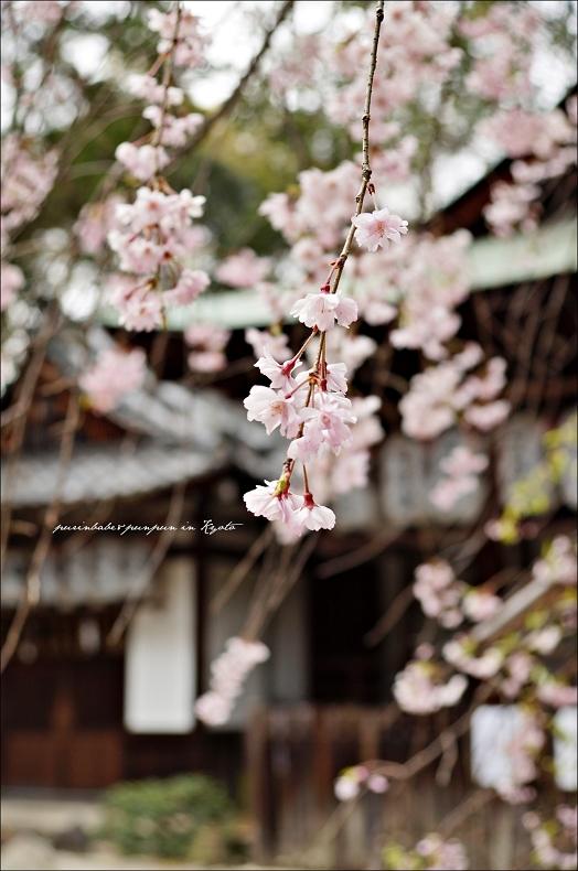 40岡崎神社之櫻2