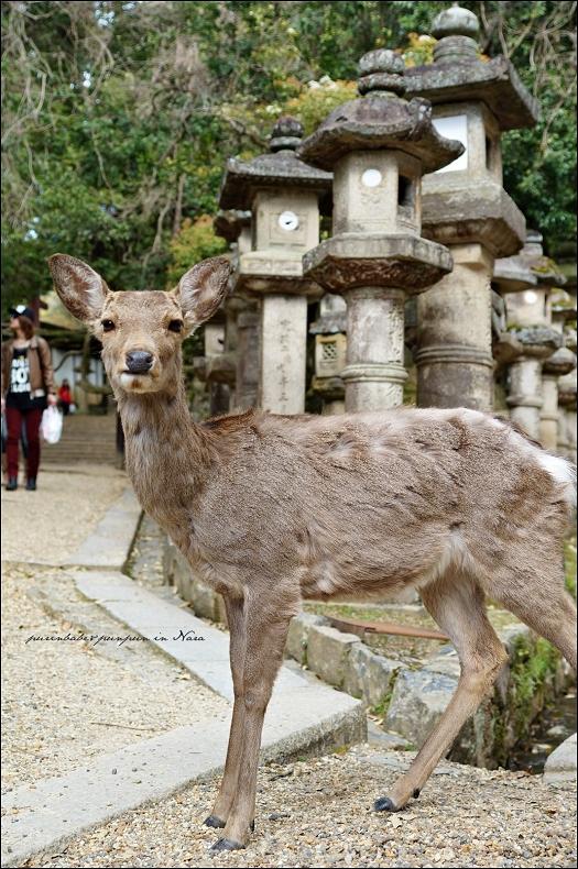 18春日大社最上鏡頭鹿