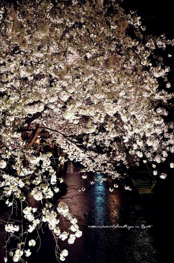 9高瀨川夜櫻5