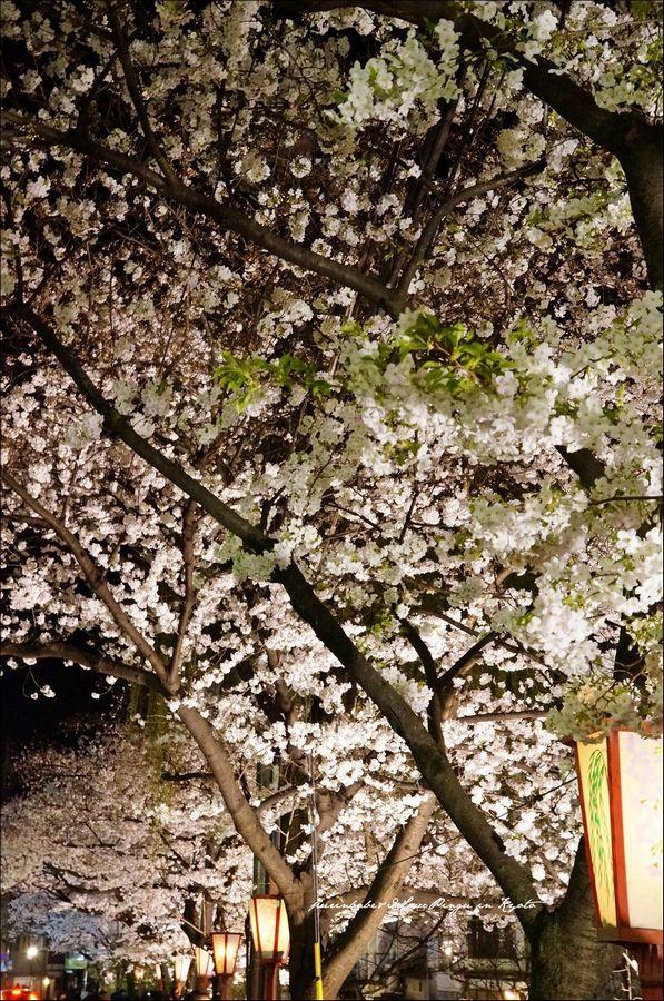 5高瀨川夜櫻1