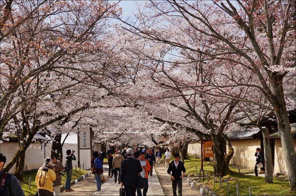 20櫻花通道
