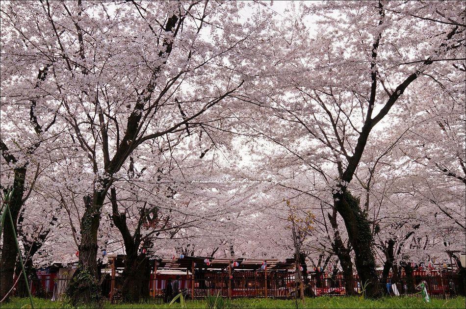 10櫻花華蓋1