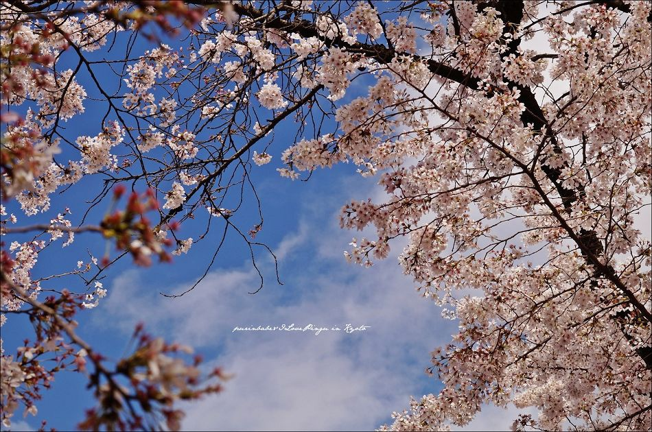 12櫻花華蓋3