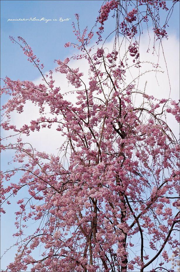 11櫻花華蓋2