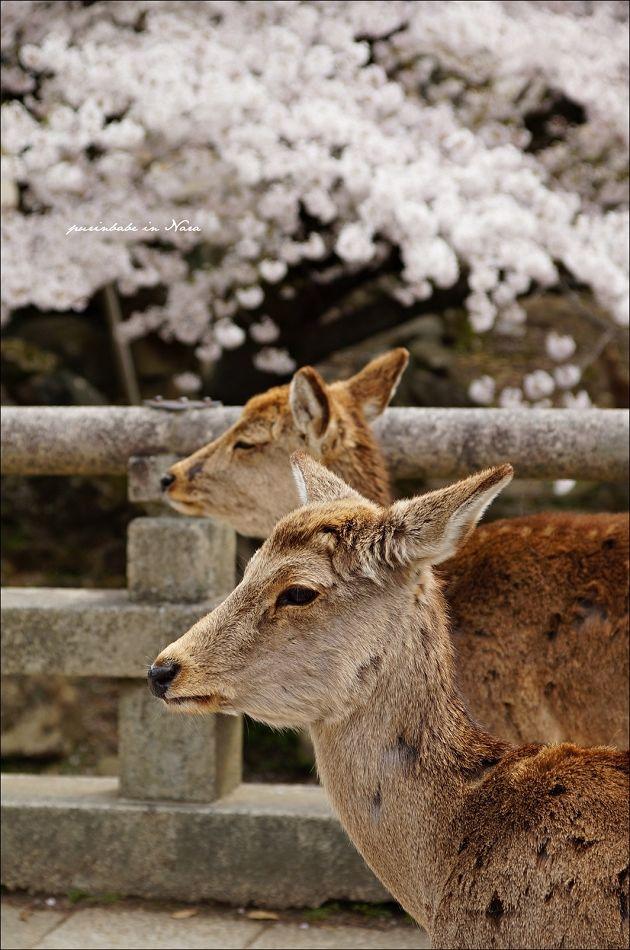13東大寺之鹿2