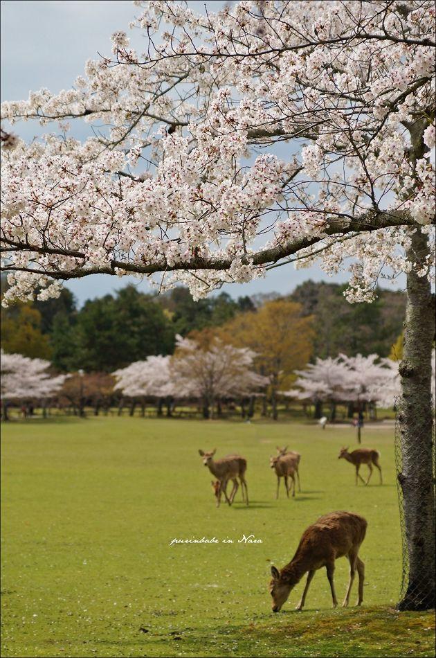 28奈良公園之鹿1