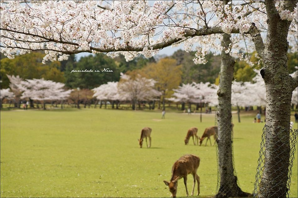 29奈良公園之鹿2
