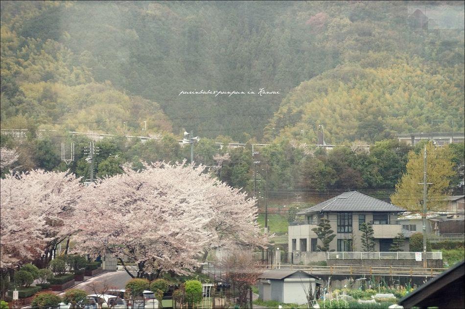 6最初的櫻花