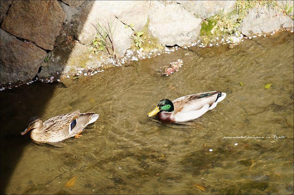 24綠頭鴨