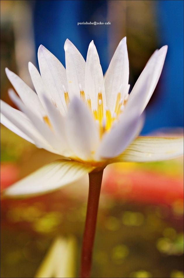 6香水蓮花