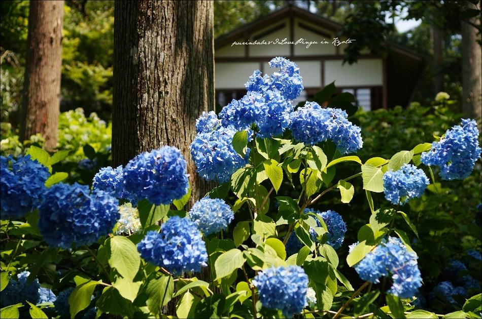 3三千院紫陽花