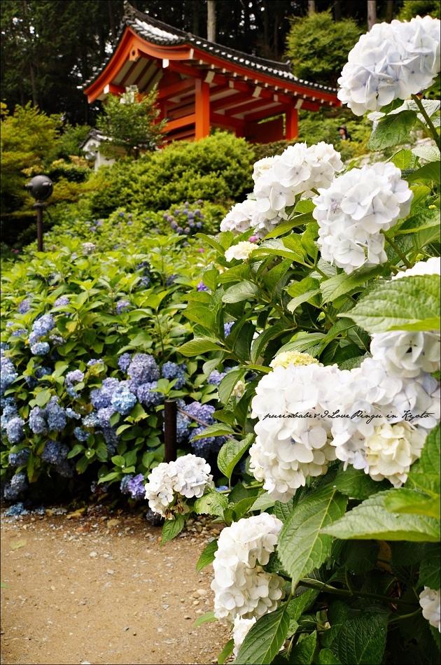 2三室戶寺紫陽花