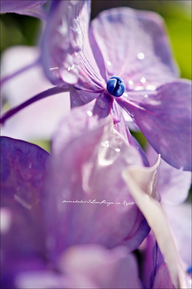 4東寺紫陽花
