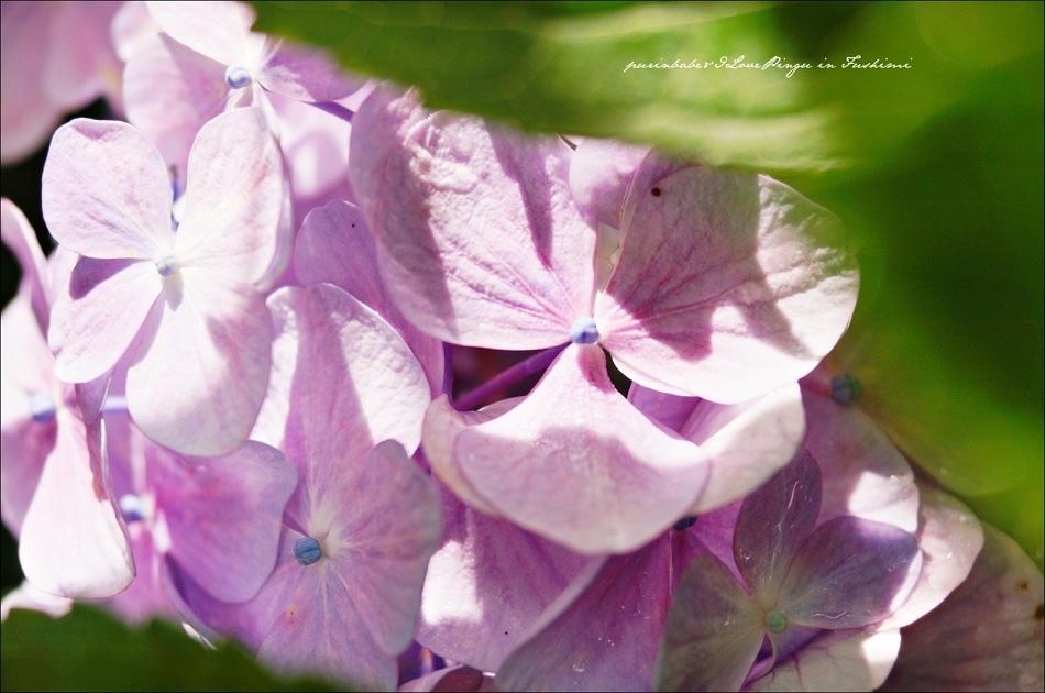 32第二紫陽花苑5