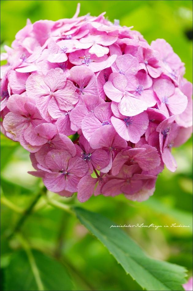 36藤森神社紫陽花4