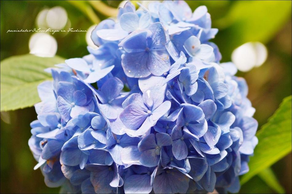 37藤森神社紫陽花5