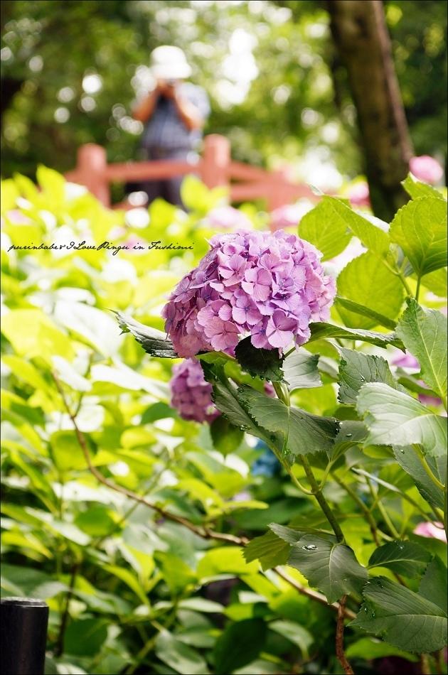 30第二紫陽花苑3