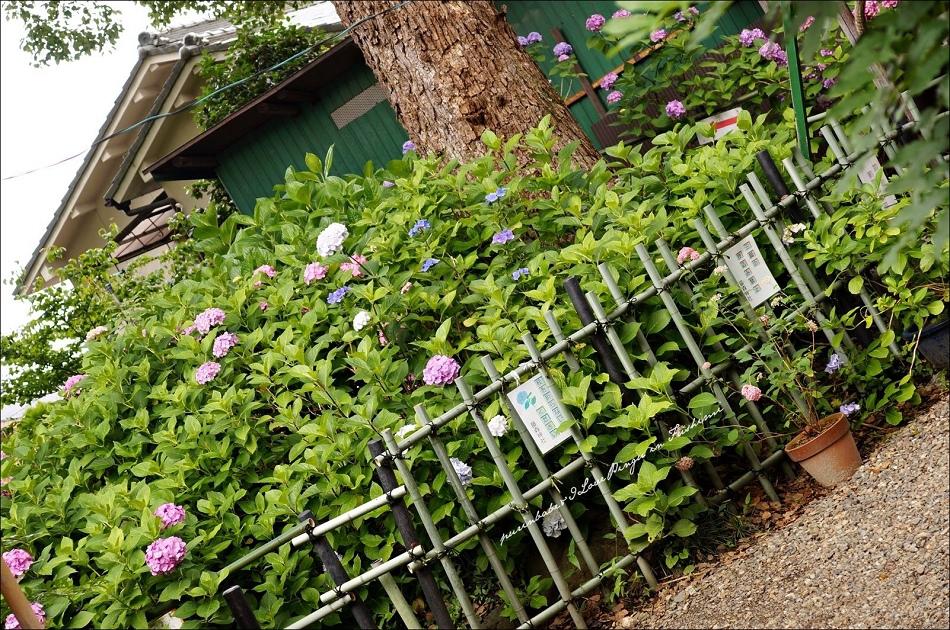 26第一紫陽花苑1