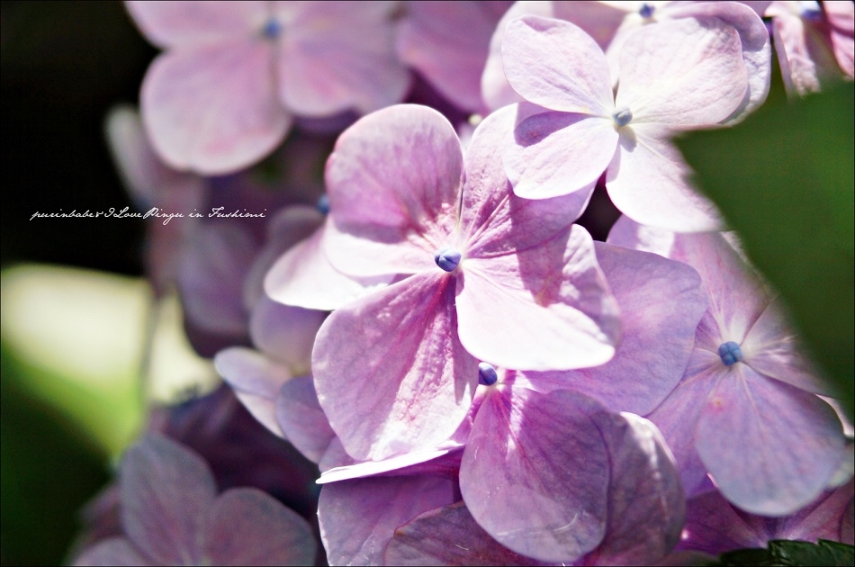 31第二紫陽花苑4