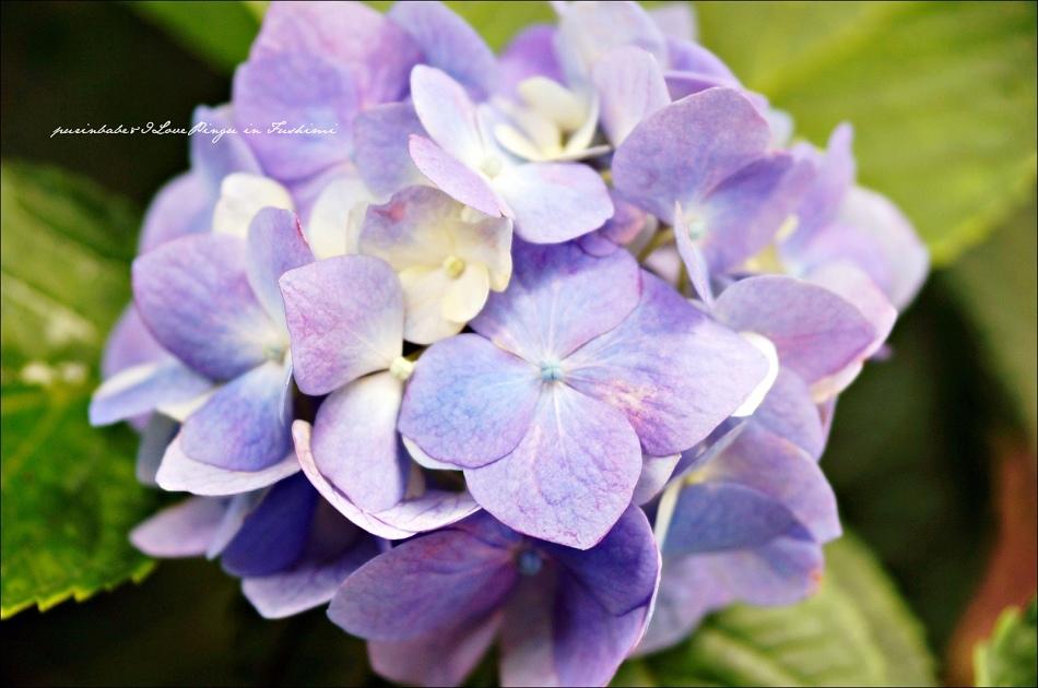 35藤森神社紫陽花3