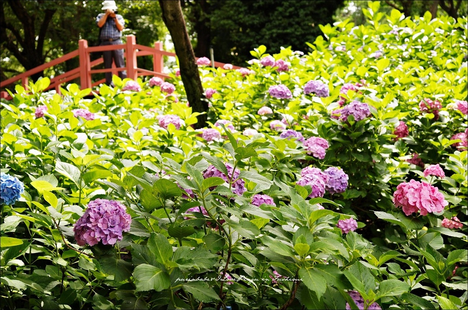 29第二紫陽花苑2